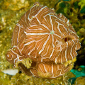 Psychedelic Frogfish (Histiophryne Psychedelica), one of the Top 10 New Species of 2010 (Arizona State Universtiy International Institute for Species Exploration) is shown