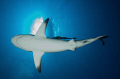 Black Tip Reef Shark in Palau