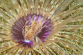 Night time Anemone.  Shot with a 60mm.  Taken in Sabang Bay, Puerta Galera Philippines.