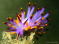 Nudibranch (Trinchesia sibogae) rising from the gloomy waters