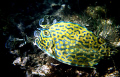 In shallow water outside a mangrove swamp in Cuba I find this scrawled cowfish.