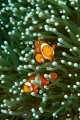 Orange Clown fish on Green Anemone