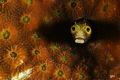 secretary blenny within hard coral... cropped to enhance composition and texture... Nikon D300 105 mm two D160 strobes...