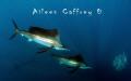 Sailfish and Marlin chasing baitball
