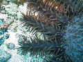 Closeup of a Crown of Thorns Starfish.
