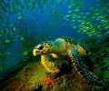 Loggerhead at Doodles, Ponta D 'Ouro