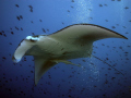manta ray at Madivaru, South Ari Atoll