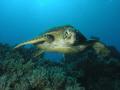 Inquisitive Green Turtle  Northern Great Barrier Reef, Australia
