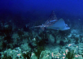 Eagle Spotted Ray @ Pozas Guanica,PR