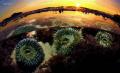 sea anemonis at sunset