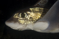 The rabbit fish (Chimaera monstrosa) is common at depths ranging from 50 to 1000 meters. In the fjords of Norway it can be seen by divers as it migrate shallower at up to 10-30m meters. Fantastic animal!