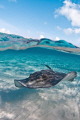 Split level shot of a Southern Stingray off the coast of Grand Cayman