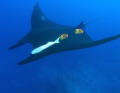 Manta with clarions.Taken at Socorro Islands the Clarion Angelfish are Manta cleaners and endemic to that area.
