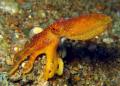 Matoti Octopus