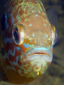 Pumpkinseed Sunfish Portrait