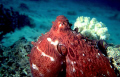 Octopus at Aqaba Bay in the Red Sea