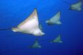 Spotted eagle rays swimming over the 
