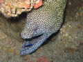 A morray eel off of Tofo, MZ, with a cleaner fish in it's mouth