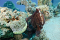 Normally the Reef octopus is well camouflaged between the coral. This one had no intention to play hide and seek. A few photographers had all the time to take some pictures.