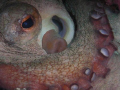 Close up of a nice Octopus in a crevice that was pleasent enought to just pose while I zoom in