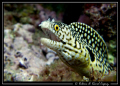 This small moray was playing with my lens ... a great moment (Murenae melanotis)