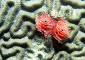 Christmas tree worm on brain coral