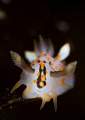 polycera quatrilineata, lovely, small animals  :)