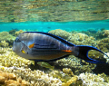 Sohal surgeonfish-Red sea