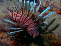 Red Volitan Lionfish invading Miami Beach!