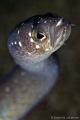 Garden eel closeup