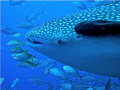My first whale shark!!!!!