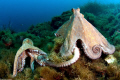 common octopuses mating