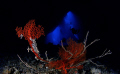 Sea fan on bottom of Blue Hole