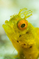 Golden phase Rough Head Blenny.  60mm lens with +5 diopter (and some cropping).