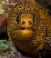 Golden Tail Moray, Bonaire