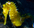 Yellow Seahorse