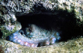 Common octopus in a cave at Crete in the Mediterranean Sea