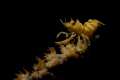 Hang on!/A wire coral shrimp