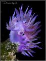 Flabellina lilla
