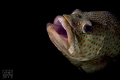 Grouper