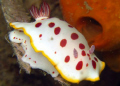 Chromodoris Splendida, Nelson Bay