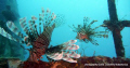 found these 2 common lionfish on the wreck of the salamander using only the cameras flash and no strobe  and an upward angle of the camera i managed to get this great pic the camera was the olympus tough 12 meg