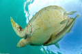 green turtle and remoras