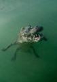 Alligator in mangrove swamp - Jardines de la rejna - Cuba Nikon D300 - 10.5 Nikkor - No strobo