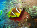 Clown fish heaven: Shot on Abu Galaw, Fury Shoals, Egypt