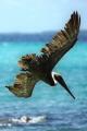 pelican torpedo