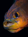 Ringtail Cardinal Fish brooding eggs in its mouth