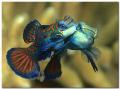 Lovestory Mating Mandarinfishes