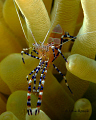 Spotted Cleaner Shrimp  Periclimenes yucatanicus Ol Blue / Tolo Bonaire N.A. The sand flats on the swim out to the wall are one of my favorite Macro sites.  60mm