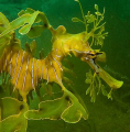 Leafy Seadragon,shot taken at Tumby Bay Sth Australia with Olympus E - 520, Olympus strobe.